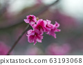 公司園區,山櫻花,粉紅色,台灣,台中,大渡,花蕊,花 63193068