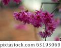 公司園區,山櫻花,粉紅色,台灣,台中,大渡,花蕊,花 63193069