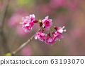 公司園區,山櫻花,粉紅色,台灣,台中,大渡,花蕊,花 63193070
