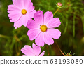 Wild Pink Cosmos Flowers Blooming by the Roadside 63193080