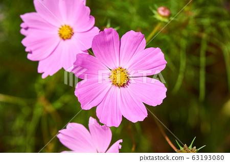 길가에 핀 야생의 분홍 코스모스 꽃 63193080
