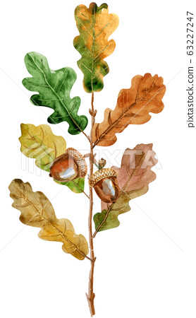 Watercolor oak branch with leaves and acorns. 63227247