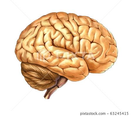 腦部解剖 63245415