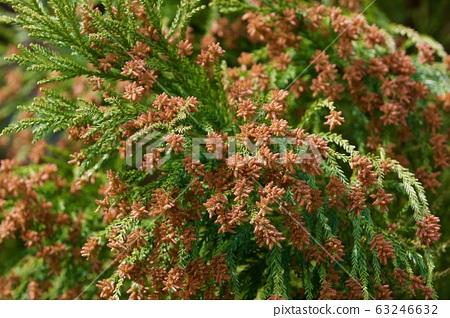 삼나무 꽃가루 63246632