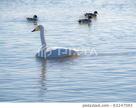 Swans and ducks 63247093