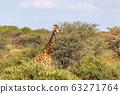 South African giraffe Chobe, Botswana safari 63271764