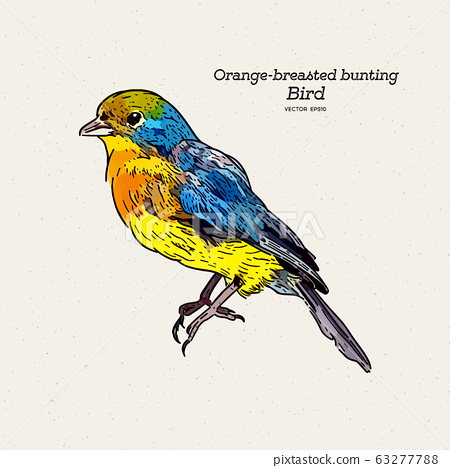 The orange-breasted bunting is a species of 63277788