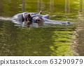 Hippopotamus in the water 63290979