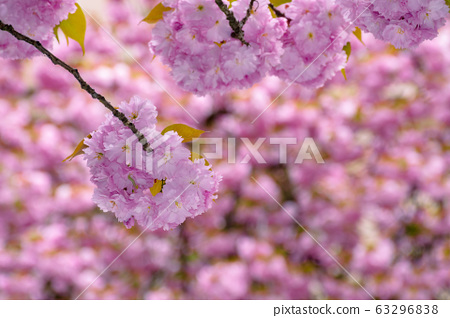 blossoming cherry tree background 63296838