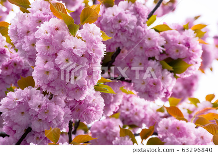 blossoming cherry tree background. beautiful pink 63296840