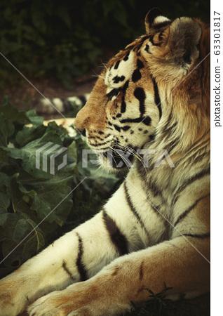 male tiger closeup 63301817
