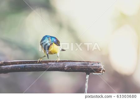 Bird (Brown-throated sunbird) in nature wild 63303680