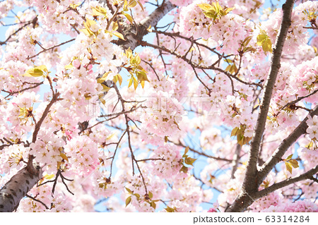 樱桃树,樱桃树 63314284
