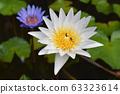Beautiful lotus flower in blooming - Image 63323614