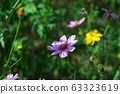 Cosmos flowers blooming in the garden. 63323619
