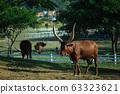 Long horned Ankole Watusi cows in Thailand. 63323621