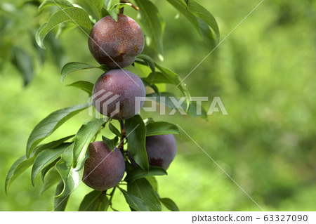 Plum tree, plum, ripe, fruit, fruit tree, orchard 63327090