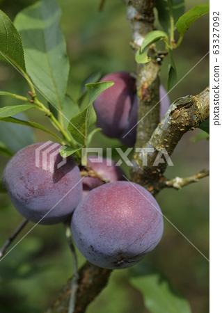 Plum tree, plum, ripe, fruit, fruit tree, orchard 63327092