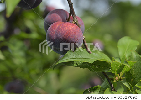 Plum tree, plum, ripe, fruit, fruit tree, orchard 63327093