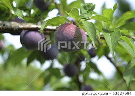 Plum tree, plum, ripe, fruit, fruit tree, orchard 63327094