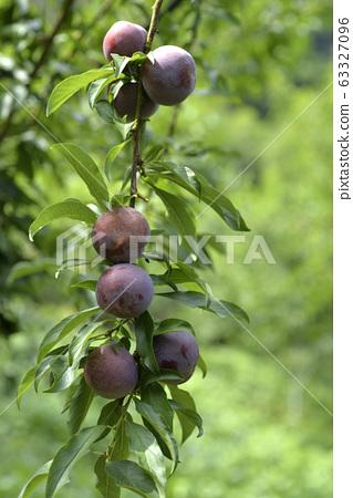 Plum tree, plum, ripe, fruit, fruit tree, orchard 63327096