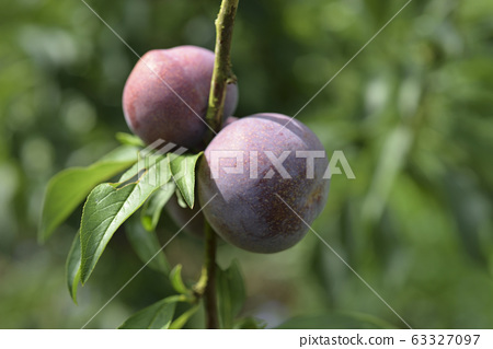 Plum tree, plum, ripe, fruit, fruit tree, orchard 63327097