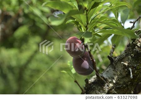 Plum tree, plum, ripe, fruit, fruit tree, orchard 63327098