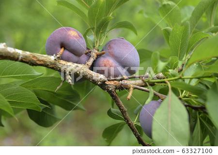Plum tree, plum, ripe, fruit, fruit tree, orchard 63327100
