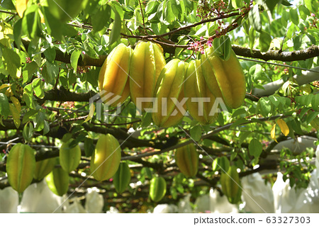 果樹,楊桃,水果,楊桃樹 63327303
