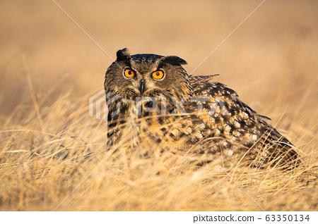 Scared eurasian eagle-owl hiding in grass in autumn. 63350134