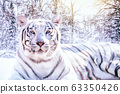 Portrait of a white tiger in the snowy forest 63350426