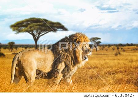 Lion in the Savannah 63350427