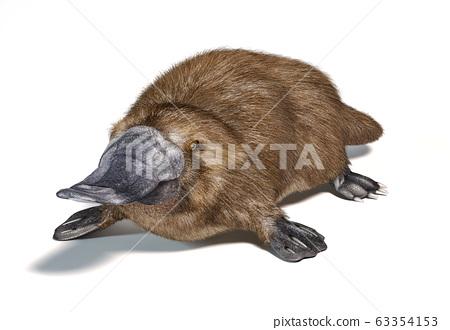 Platypus duck-billed animal. (Ornithorhynchus 63354153