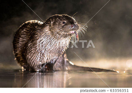 European Otter in shallow water at night 63356351