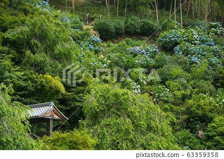 교토시 善峯寺의 수국 63359358