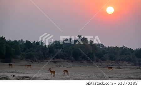 Sunset over the trees with text space and puku antelopes 63370385