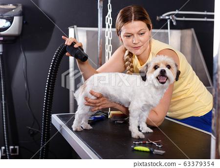 Cute havanese puppy getting treatments by female pet groomer in salon 63379354