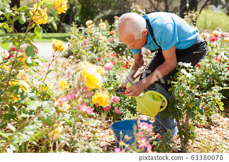 Man cutting with scissors roses bushes 63380078