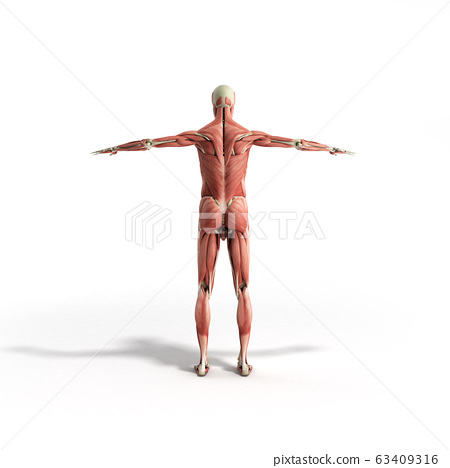 Human Muscle Anatomy 3d render on white 63409316