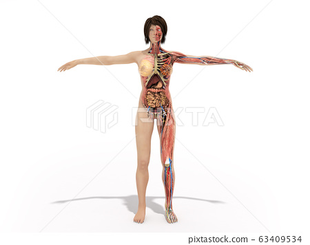 A woman body for books on anatomy 3d render image 63409534