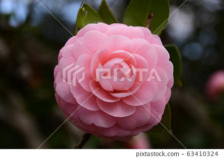 동백 나무 꽃 63410324