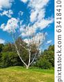 Dead dry tree birch on green meadow in park 63418410