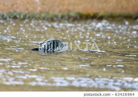 一條魚浮波在水面上的光。 63426964