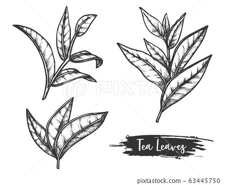 Tea leaves sketch, twig or stem of ceylon herb 63445750