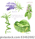 watercolor drawings of natural cosmetics: lavender, bamboo, melissa linden plants 63462682