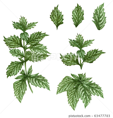 Watercolor lemon balm mint twig illustration . Hand drawn herbal set of mint leaves and lemon balm plant isolated on white background. Honey herb. 63477783