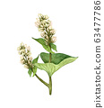 Watercolor buckwheat plant with white flowers. Hand drawn illustration of white buckwheat on a white background.  Honey herb. 63477786