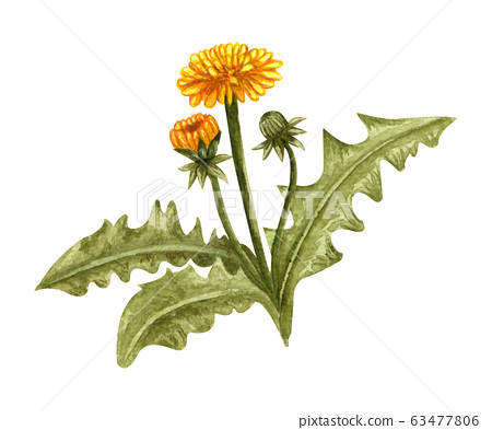 Watercolor dandelion spring plant with yellow flowers and buds. Hand drawn illustration on white background 63477806