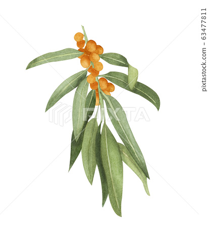 Watercolor sea-buckthorn illustration. Hand drawn branch of white sea buckthorn with orange berries and green leaves isolated on white background. Honey herb. 63477811