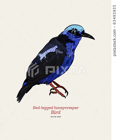 The red-legged honeycreeper (Cyanerpes cyaneus), 63493935